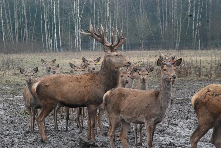 """""""Deer SPA"""" bandos vadas elnias Rudolfas"""