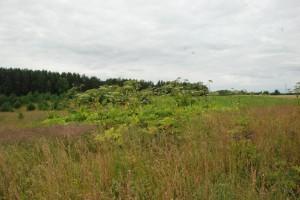 Apie 50-ies Sosnovskio barščių kolonija įsikūrė ir puikiai klesti šalia kelio netoli Kernavės esančioje pievoje.