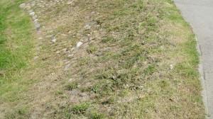 """Taip atrodo jau nušienautas """"alpinariumas"""". Panašu, kad kitą vasarą akmenų per piktžoles jau visiškai nebesimatys..."""