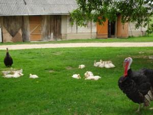 Valerijos Kisielienės sodyboje gyvena netradicinė paukščių šeima.