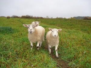 Lietuvos šiurkščiavilnių veislės avinukai dalyvavo parodoje.