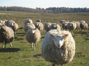 Berišon diušer veislės avys temperamentingos, stiprios ir raumeningos.