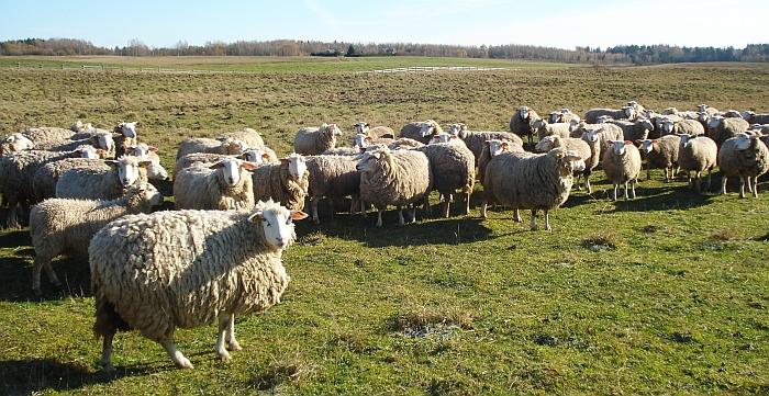 Iki vėlyvo rudens avys ganosi aptvertoje pievoje.