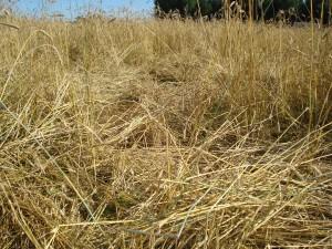 Akivaizdi šernų padaryta žala: išguldytas kviečių laukas.