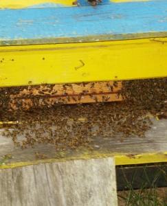 Česlovo bitės yra ramios ir drausmingos.