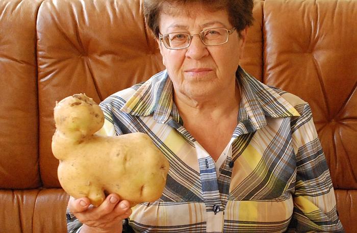 """Irenos Kojienės darže užaugo įdomi gamtos keistenybė - bulvė """"Vineta""""."""