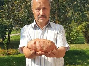 Antano Ančerevičiaus užauginta bulvė.