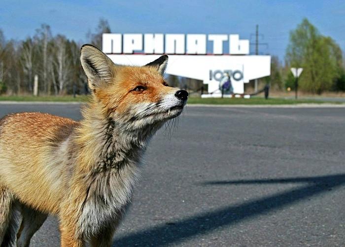 Vienas iš Pripetės lapinų, Semionas (pikabu.ru nuotr.).