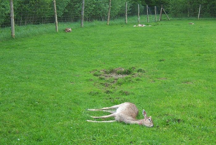 Pernai rašėme, kad 2016 metų gegužės 15-ąją Taučiulių kaime vilkai papjovė Jono Čaikausko veisiamus 24 danielius, 3 danieliai dingo (Sigito Gatavecko nuotr.). Nuo tos vietos iki Paspėrių, kur dabar pjaunami šunys, yra vos 6 km. Panašus atstumas fiksuojamas ir nuo Šeipūnų iki tos vietos Pociūniškio miške, kur 2014-ųjų lapkritį buvo mirtinai partrenktas vilkas. Šeipūnuose 2015 metų rugsėjo 5-ąją buvo papjautos 3 ožkos ir 3 avys.