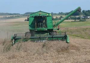 Žičkų ūkininkas Paulius kartenis skuba kulti žirnius. Pasak Pauliaus, žirnių derlingumas šiais metais mažesnis, nes sunku juos paimti, - žirniai labai sugulę ir daug lieka ant žemės.