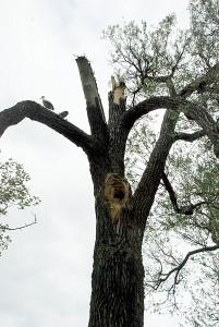 Nors gandrai neteko lizdo, nuo medžio nesitraukė...