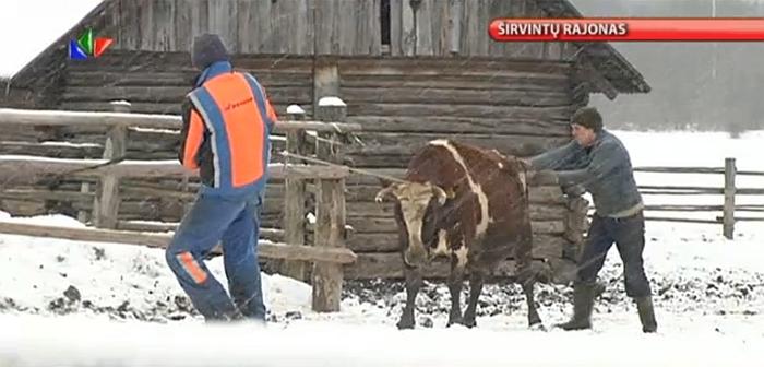 Gyvuliai iš ūkininko buvo paimti nedalyvaujant antstoliui, tačiau teismas konstatavo, kad jo ir nereikėjo... (LNK.GO)