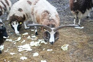 Gražuolis Jakobo keturragis avinas...