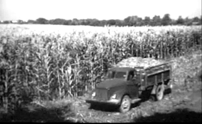 Štai kokius kukurūzus Alionių kolūkyje užaugino Zuzanos Motiejūnienės grandis. 1960 metai.