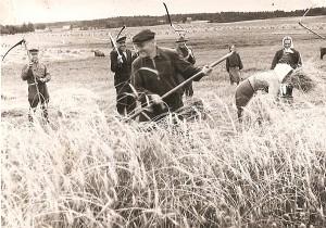 Limonių kaimo gyventojai kerta rugius. 1952 metai.