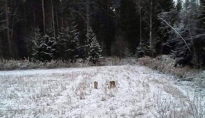 2018 metų gruodžio pradžioje prie Varanavos nufotografuotos lūšys. Jono Asteikos nuotr.