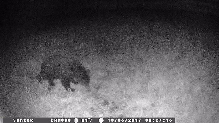 Štai kokį lokį spalio 12 dienos naktį užfiksavo Edvardo Šačio įrengta žvėrių stebėjimo kamera.