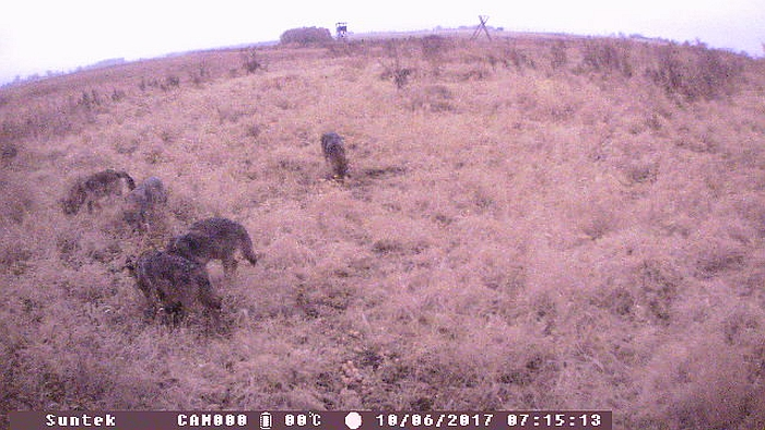 Dar tą patį rytą netoli Alionių II kaimo esančioje žvėrių šėrykloje apsilankė penki vilkai, kuriuos taip pat įamžino Edvardo Šačio įrengta žvėrių stebėjimo kamera.