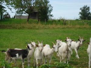 """Aptvare besiganančios ožkos labai ramina, gydo depresiją ir """"nuima"""" stresą."""