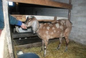 Pieningiausia Europos ožka - anglų nubija - didelė smaližė.