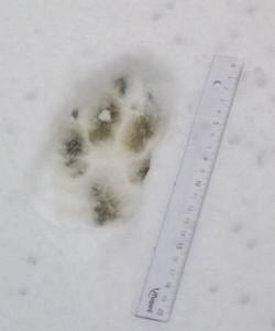 Štai tokius pėdsakus, kurių ilgis dažnai viršija 10 cm, sniege palieka vilkai. A. Gaidamavičiaus nuotr.