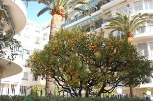 Nicoje mandarinai auga tiesiog gatvėje.