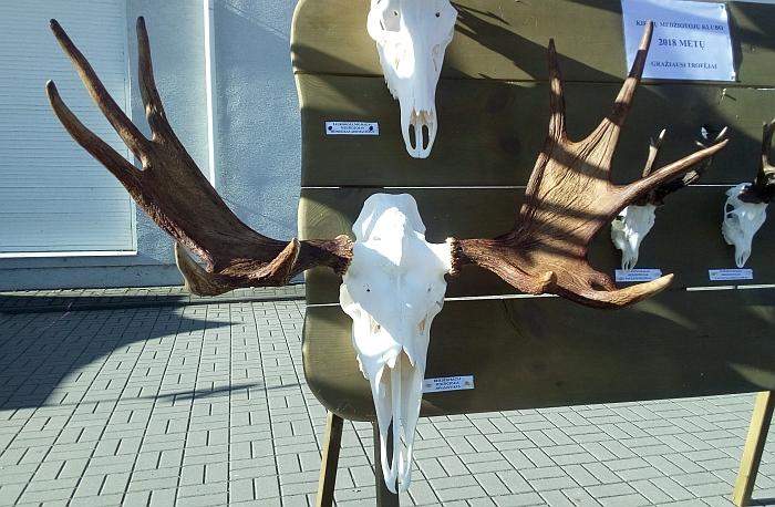 Širvintų rudens šventėje Kielių medžiotojų klubas eksponavo Jono Pinskaus sumedžioto briedžio ragus.