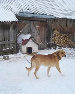 Sodybą saugantis šuo Sargis yra bejėgis prieš braškes ir česnakus knaisiojančius šernus.