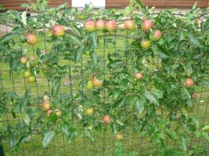Originali obelų ir obuolių tvora.
