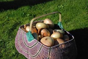Nijolės sode šiemet geras daržovių derlius, ypač puikiai užderėjo svogūnai.
