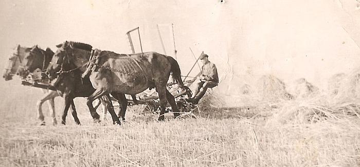 Trejeto arklių traukiama kertamąja rugius kerta Vaclovo Latvio tėtis Stasys Latvys. 1959 metai.