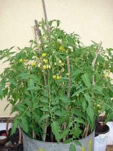 Černiškių kaimo gyventoja Teresa Filipova, pernai agurkus auginusi statinėje, šįmet nusprendė tą patį padaryti su pomidorais.