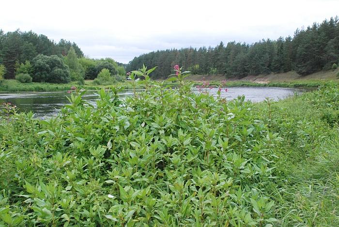 Siauroje juostoje palei Neries upę gamta sukaupė turtingą vaistinių augalų genofondą.
