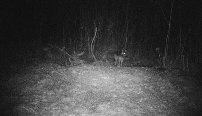 """Vilkas, gruodžio pradžioje nufotografuotas žvėrių stebėjimo kamera MK """"Bagaslaviškis"""" medžioklės plotuose."""