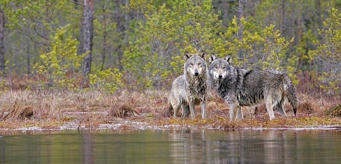 Vilkai mėgsta pelkėtas, nuošalias vietas...