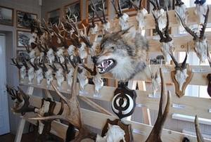 Vilkų trofėjai - vieni geidžiamiausių tarp medžiotojų...