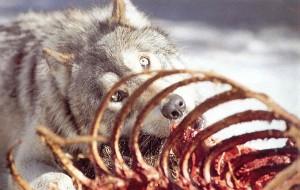 Tik patyręs medžiotojas gali pasakyti, kas plėšikavo ganykloje - šuo ar vilkas?